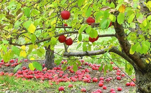 Guide de traitements naturel pour arbres fruitiers purin d 39 ortie et cie - Traitement arbres fruitiers ...
