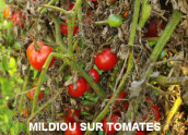 mildiou sur tomate