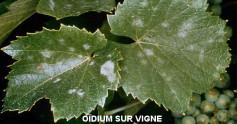 oidium-de-la-vigne