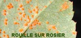 rouille rosier